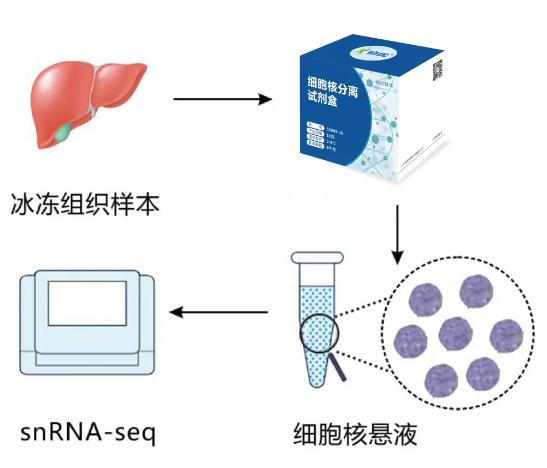 伯豪生物单细胞核分离试剂盒
